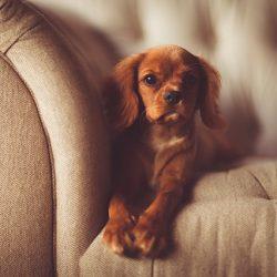 cachorro no sofa